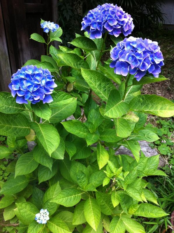 IMG_0219紫陽花