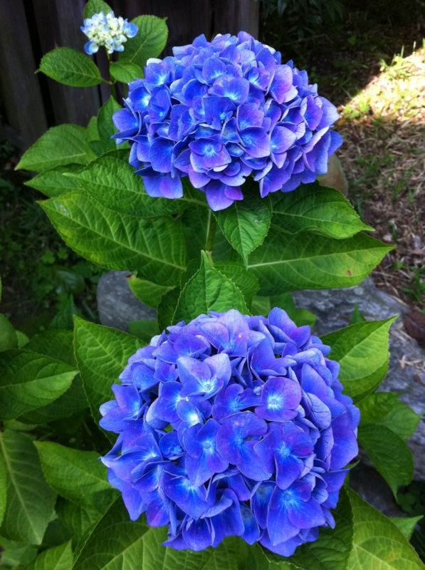 IMG_3221紫陽花