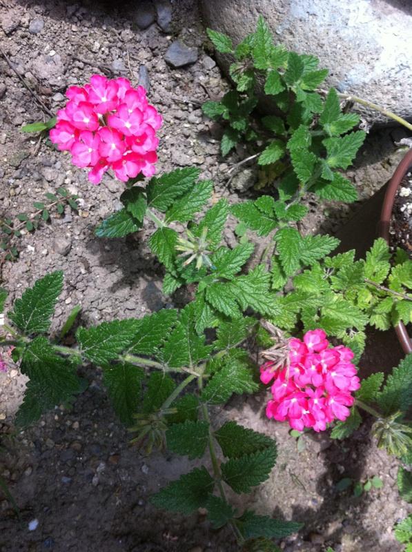 IMG_1984ピンクの花?