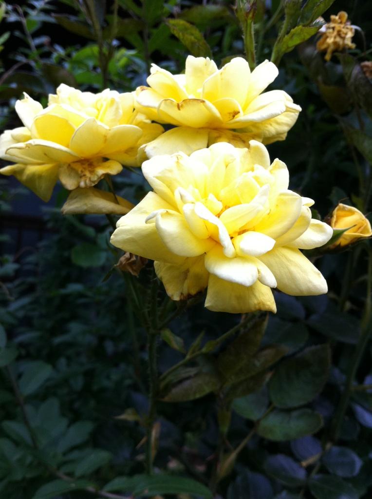 IMG_6639薔薇