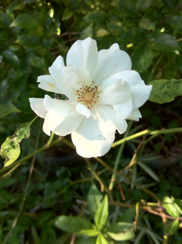 IMG_0618薔薇