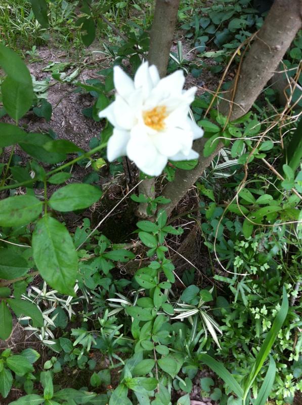 IMG_4150白い薔薇