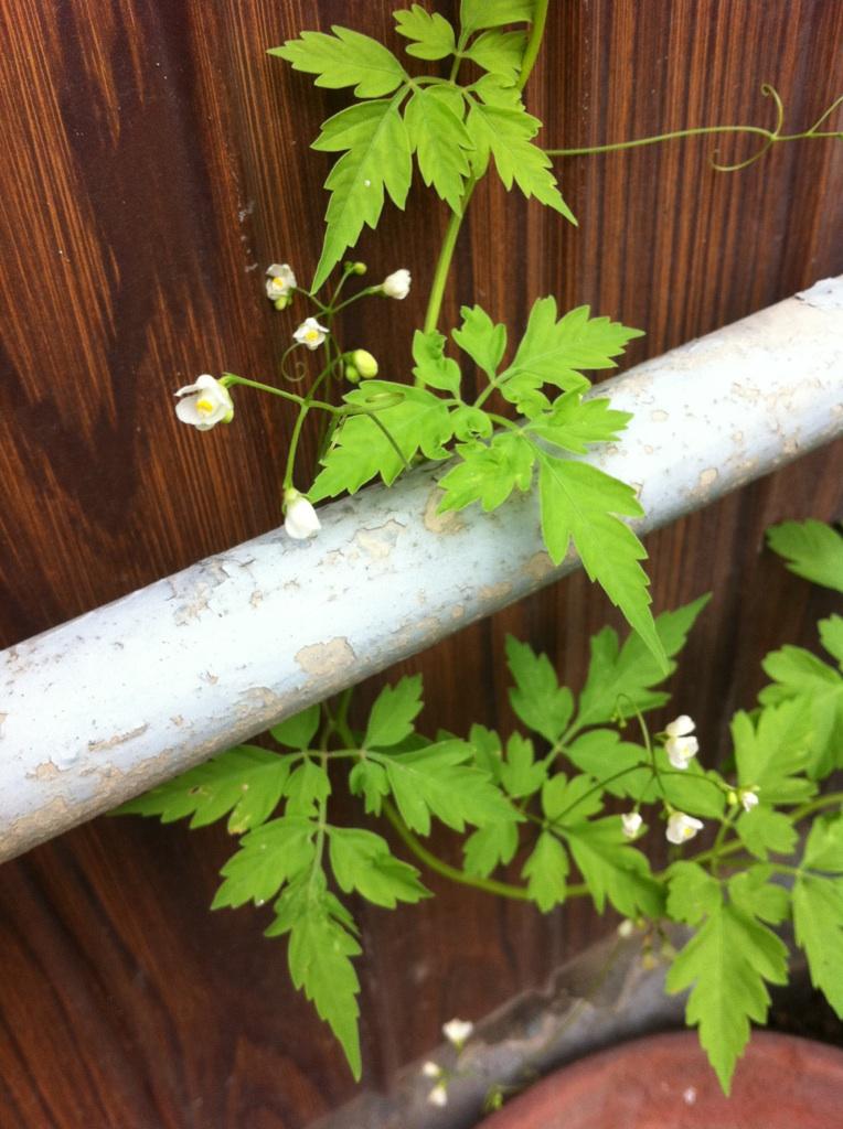 IMG_4647風船カズラの花