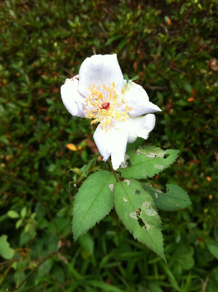 IMG_6071ブルーの薔薇