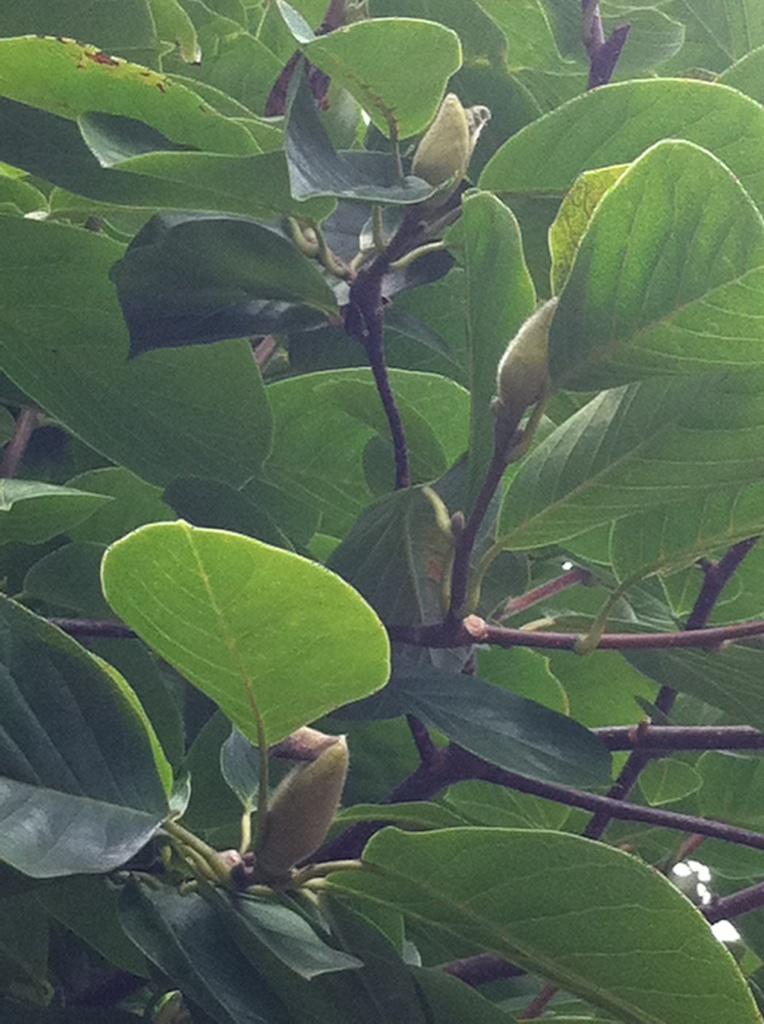 IMG_0139ハクモクレンの花芽
