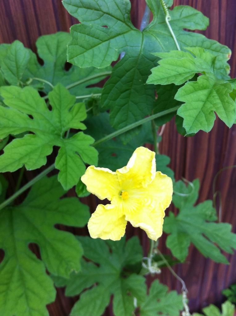 IMG_8414ゴーヤの花