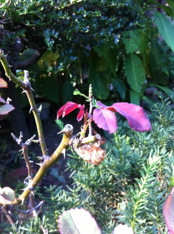 IMG_0031紅いバラの木に空蝉