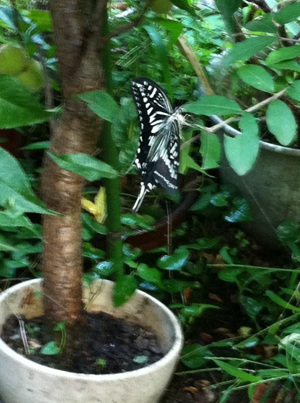 IMG_4793アゲハ蝶