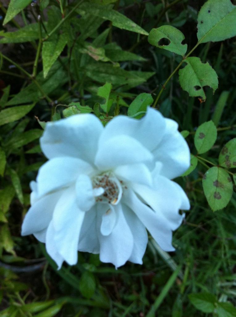IMG_4970白薔薇