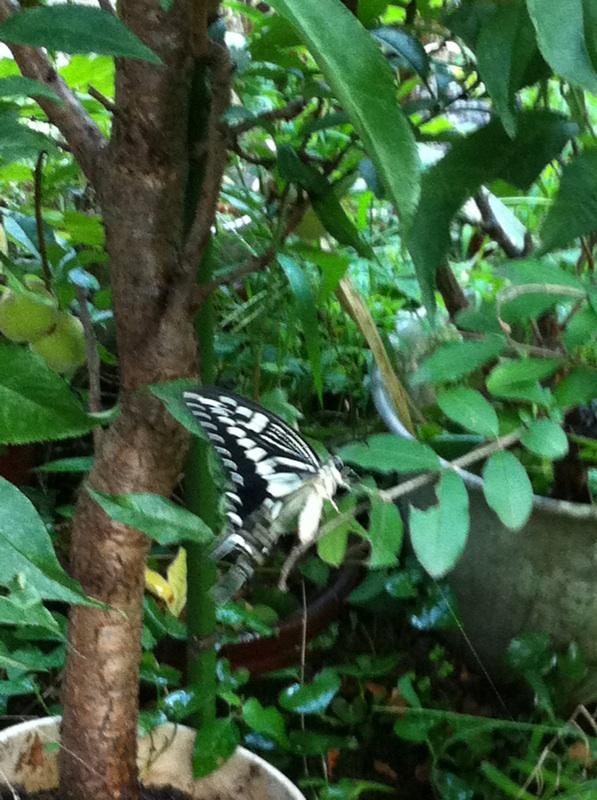 IMG_7433アゲハ蝶