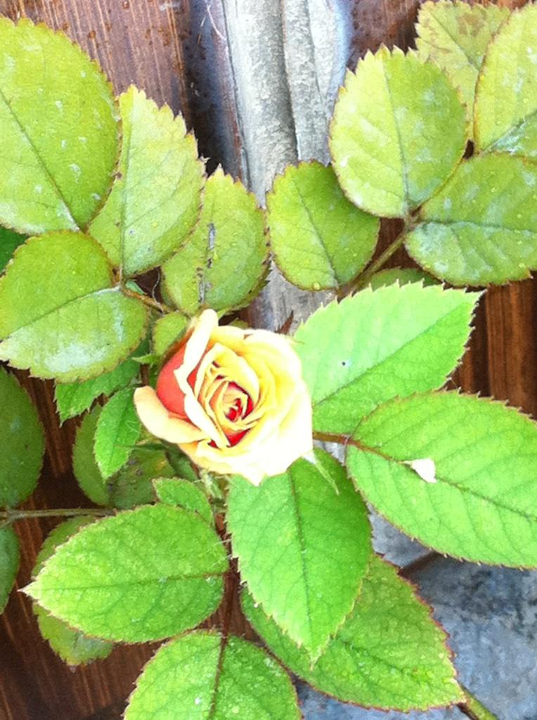 IMG_7988ミニ薔薇