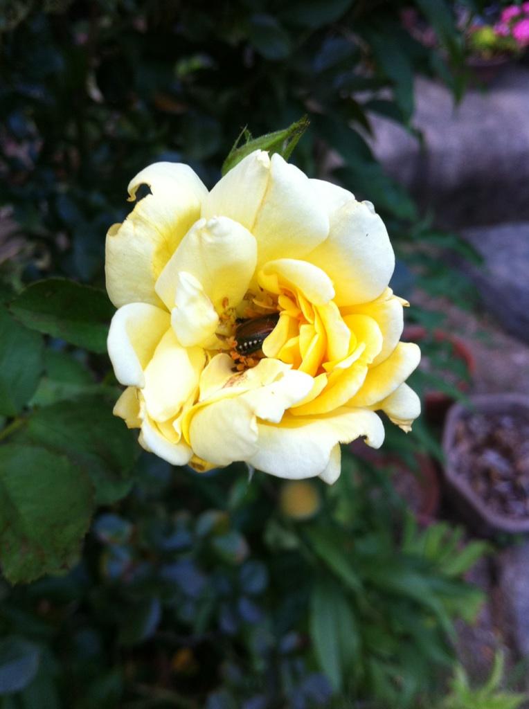 IMG_8289黄色い薔薇に黄金虫