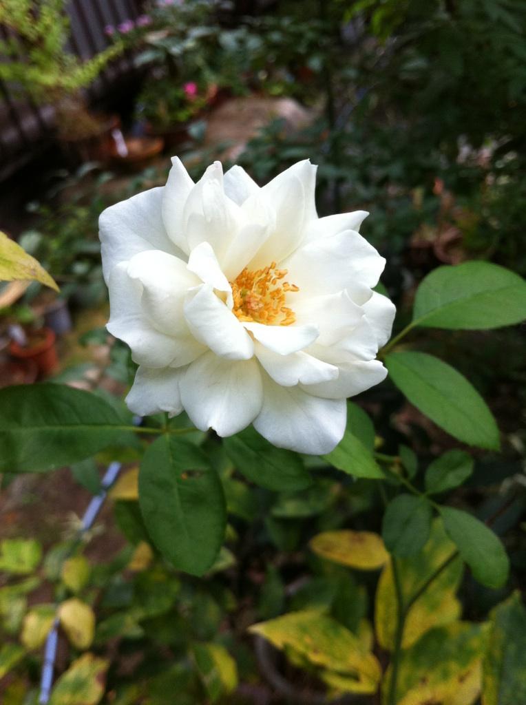 IMG_7990白薔薇