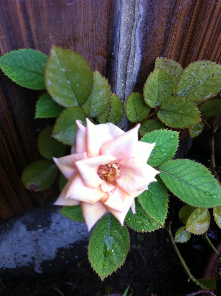 IMG_1180ミニ薔薇