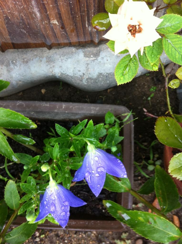 IMG_6218雨の桔梗