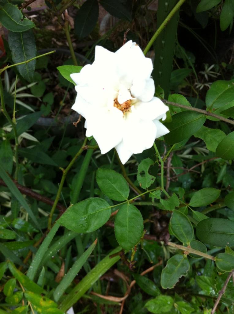 IMG_5618白薔薇