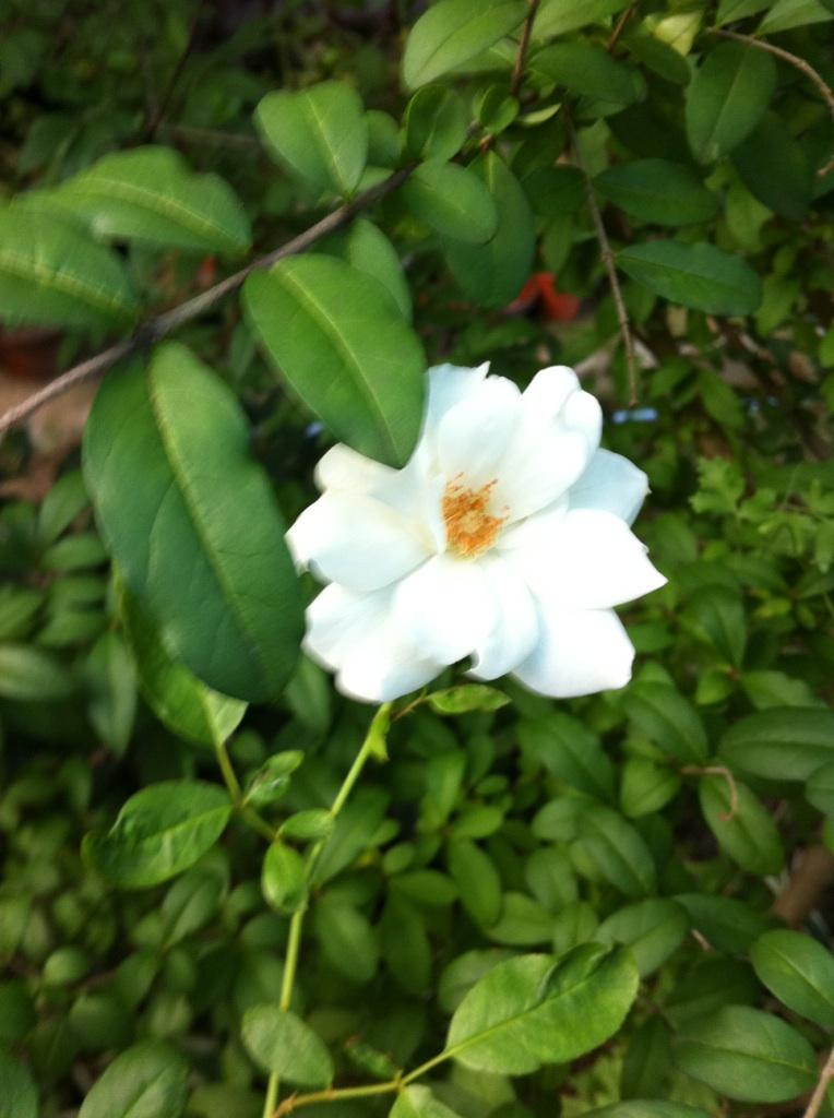 IMG_2866白薔薇