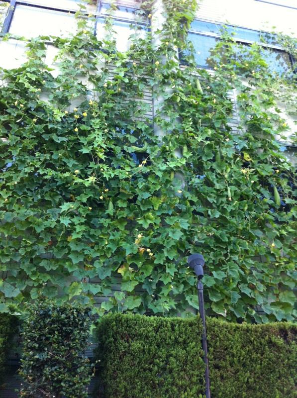 IMG_3225緑のカーテン
