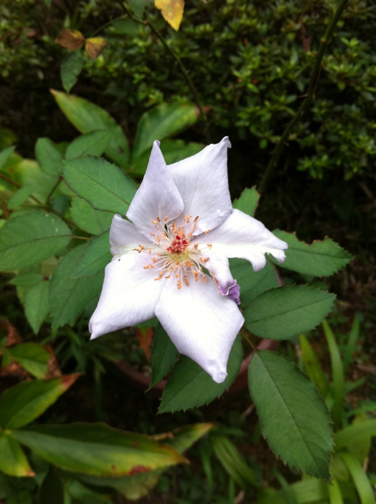 IMG_2578青い薔薇