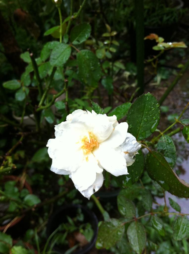 IMG_7711白薔薇