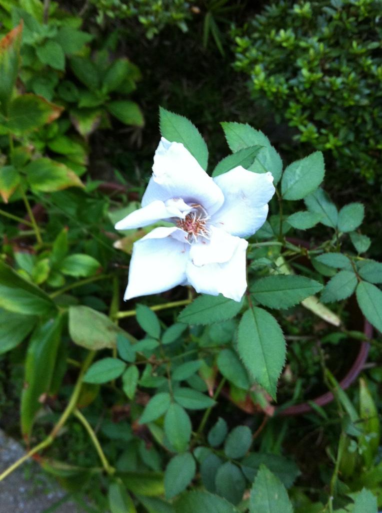 IMG_2673青い薔薇
