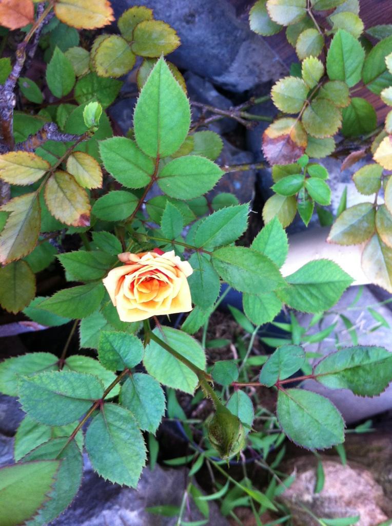 IMG_3495ミニ薔薇