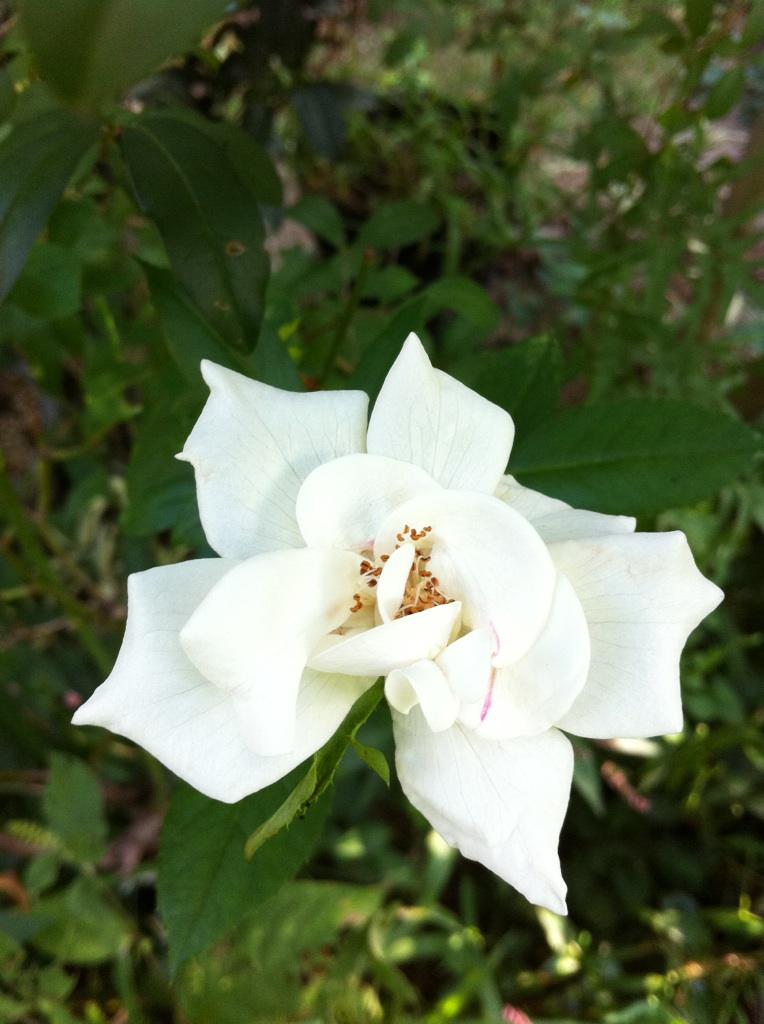 IMG_5959白薔薇