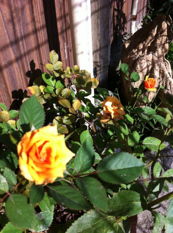 IMG_1544ミニ薔薇