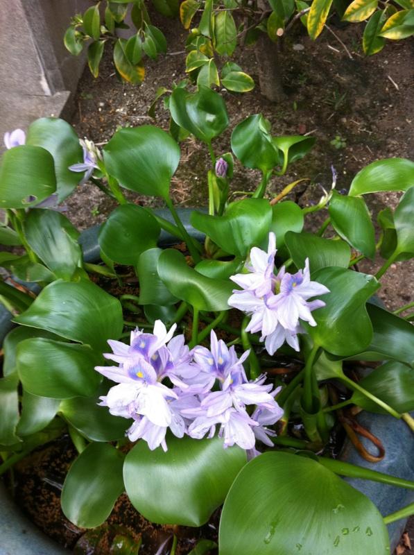 IMG_9565ホテイアオイの花