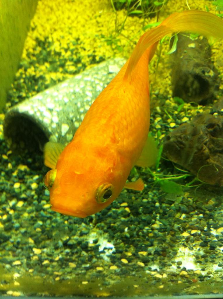 IMG_9014一匹金魚
