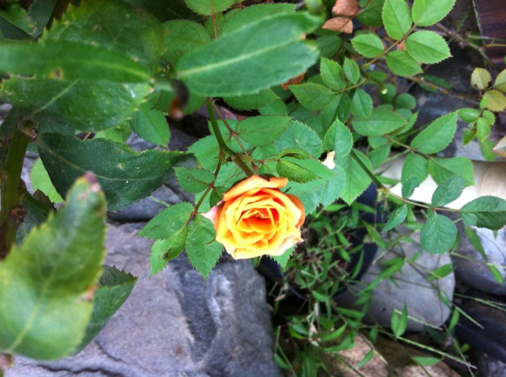 IMG_0011ミニ薔薇