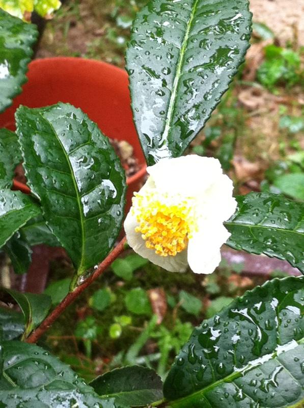 IMG_1275お茶の花