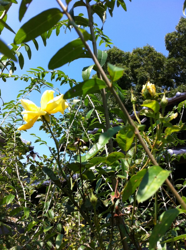 IMG_7006黄色い薔薇
