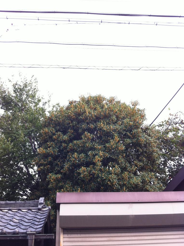 IMG_4436金木犀