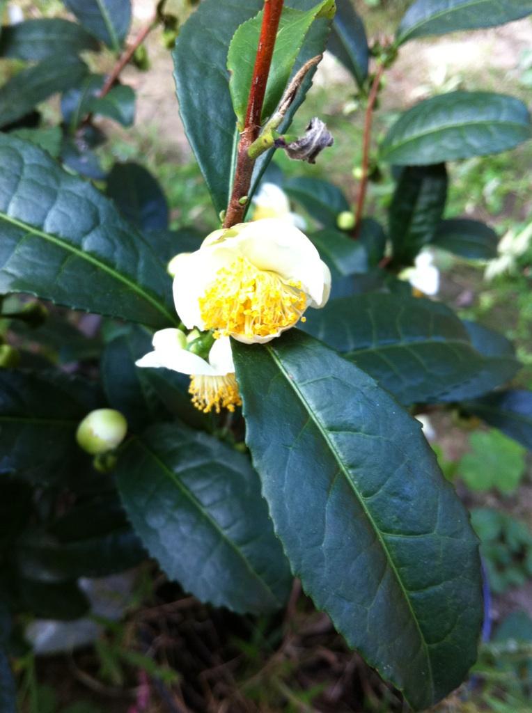 IMG_7272お茶の花