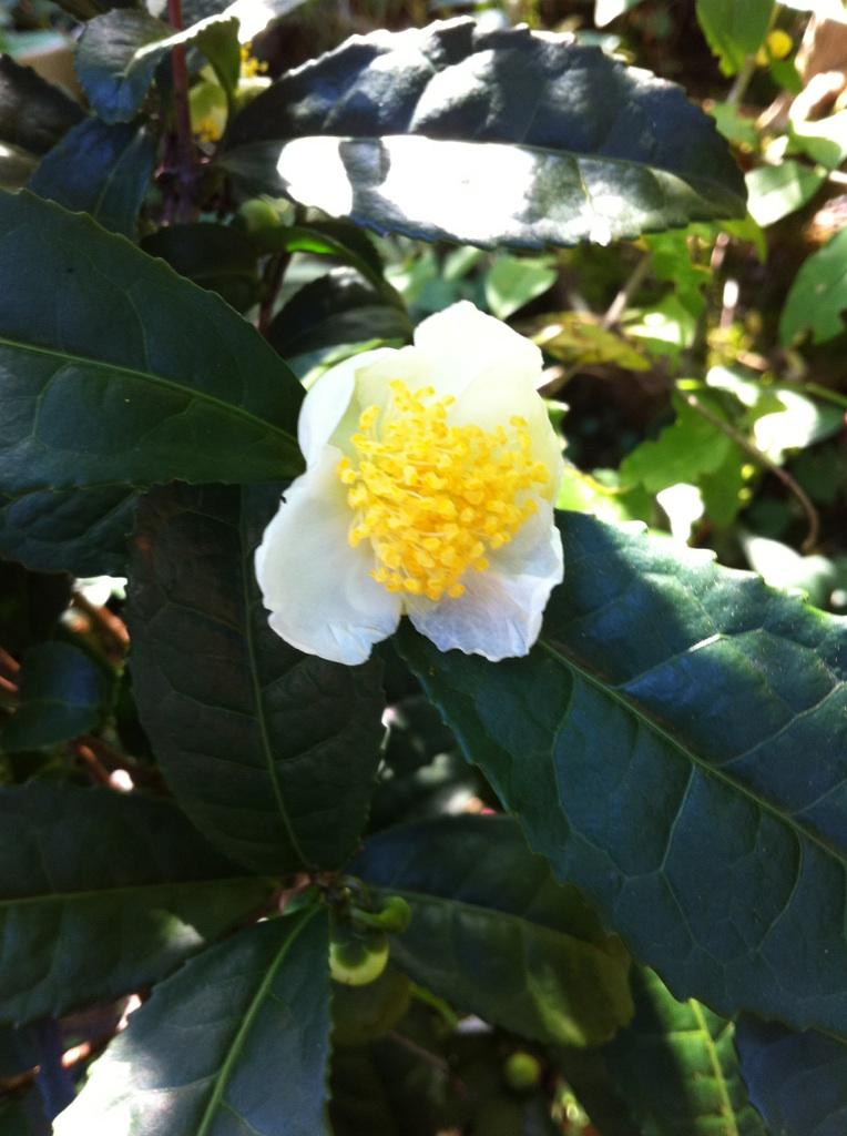 IMG_2273お茶の花