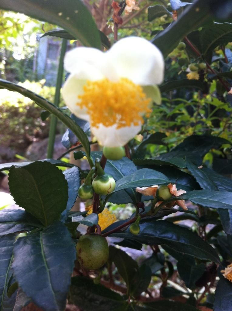 IMG_3748お茶の花
