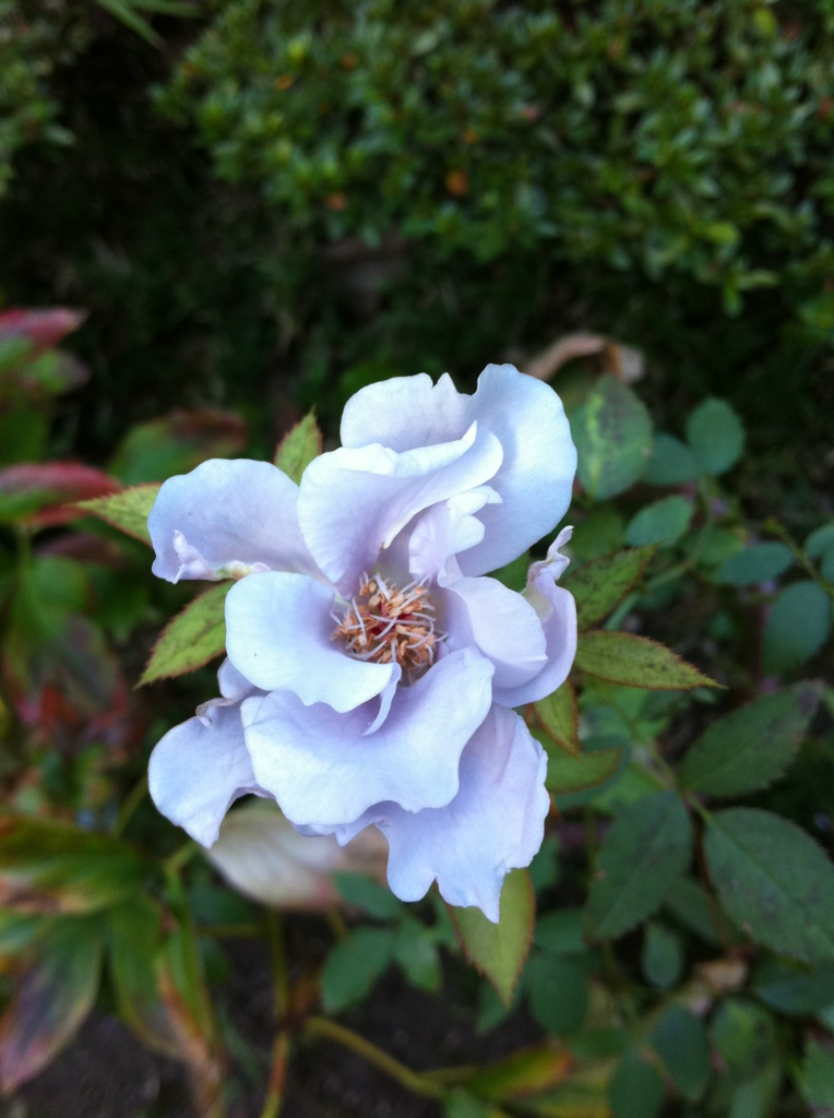 IMG_4363青い薔薇