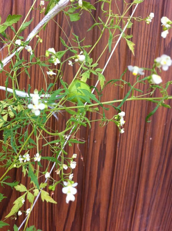 IMG_4712風船カズラの花