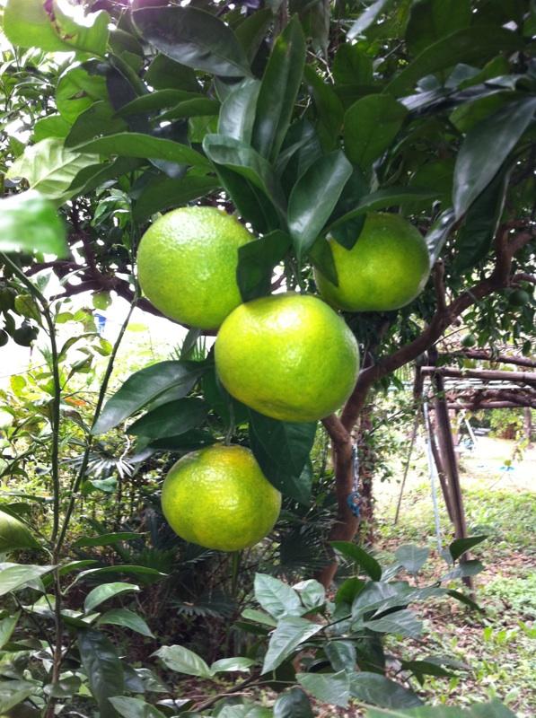 IMG_4017柑橘