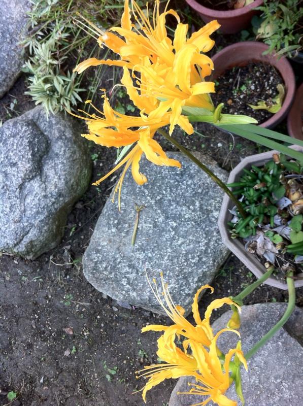 IMG_2818黄色い彼岸花