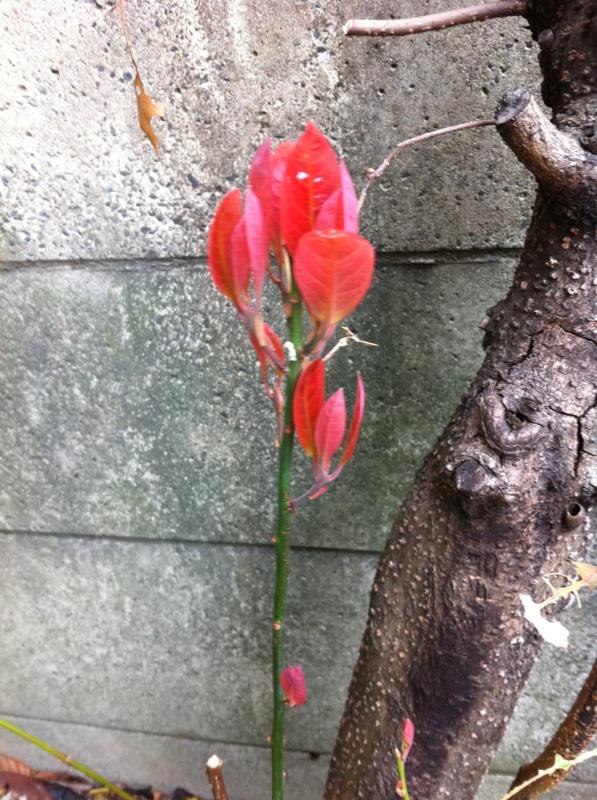 IMG_2762赤い芽