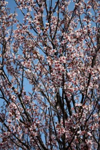 natsuro桜