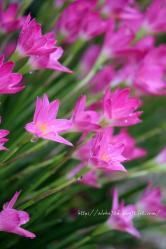ピンクの水滴
