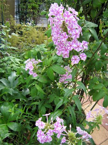早咲き種のナターシャ