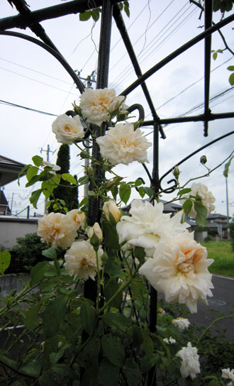 アリスター・ステラ・グレイ(OR)