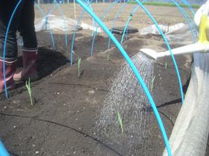 トウモロコシ定植