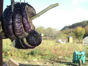 茄子の種とり