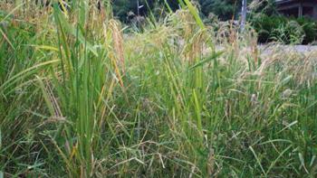 田んぼの草の状況