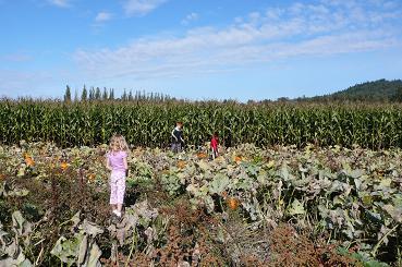 かぼちゃ畑2